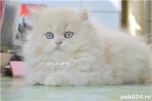 Pui persan Doll Face  ! - imagine 4