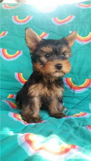 Yorkshire Terrier Talie Mica  - imagine 7