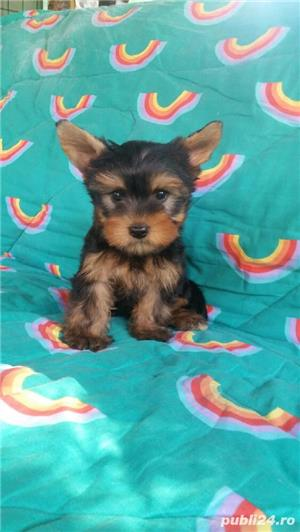 Yorkshire Terrier Talie Mica  - imagine 4