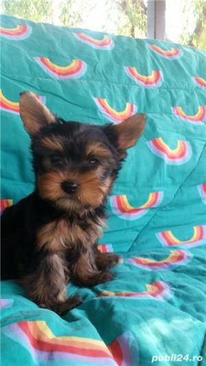 Yorkshire Terrier Talie Mica  - imagine 3