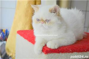 Vand pui persan Exotic Shorthair Color Point Red  !!! - imagine 6