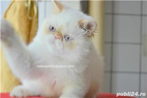 Vand pui persan Exotic Shorthair Color Point Red  !!! - imagine 5