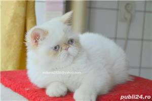 Vand pui persan Exotic Shorthair Color Point Red  !!! - imagine 4