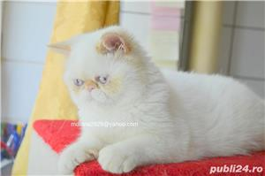 Vand pui persan Exotic Shorthair Color Point Red  !!! - imagine 8