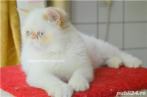 Vand pui persan Exotic Shorthair Color Point Red  !!! - imagine 7