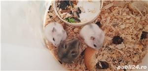 Vand hamsteri puiuti 10 lei/buc - imagine 2