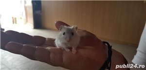 Vand hamsteri puiuti 10 lei/buc - imagine 3