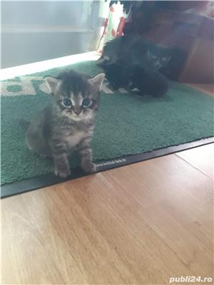 Pisicuțe de vânzare  - imagine 5