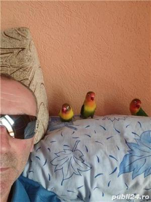 Vând papagali agapornis fischer Baia Mare  - imagine 2