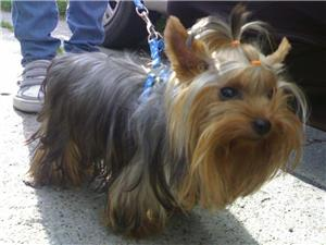 Yorkshire Terrier Talie Mica  - imagine 9