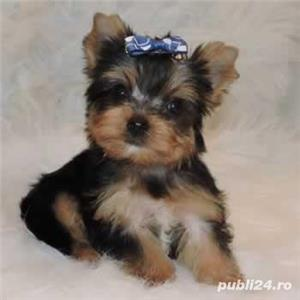 yorkshire terrier - imagine 1