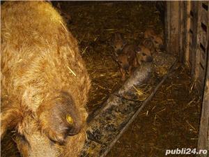 Schimb porc Mangalita - imagine 2