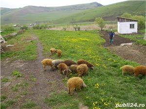 Schimb porc Mangalita - imagine 3