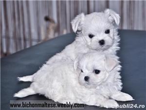 Pui bichon maltese, pedigree A, parinti campioni  - imagine 1