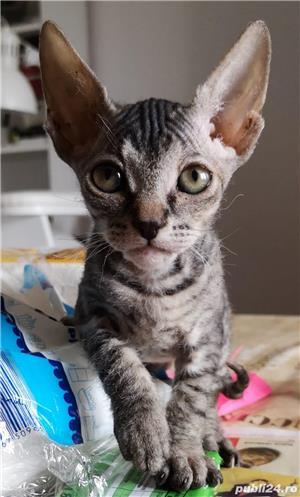Vand URGENT pui de pisica Sphinx. Pret 500 lei.  - imagine 2