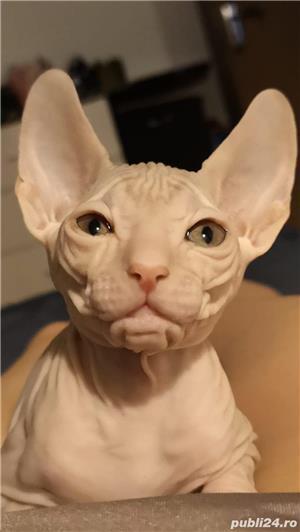 Vand URGENT pui de pisica Sphinx. Pret 500 lei.  - imagine 9