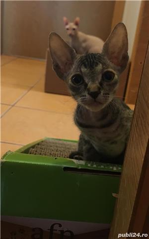 Vand URGENT pui de pisica Sphinx. Pret 500 lei.  - imagine 7