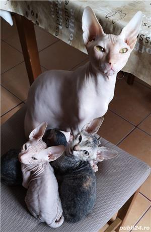 Vand URGENT pui de pisica Sphinx. Pret 500 lei.  - imagine 10