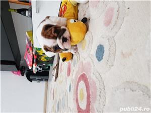 Bulldog englez  - imagine 1