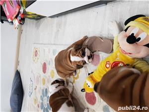 Bulldog englez  - imagine 2