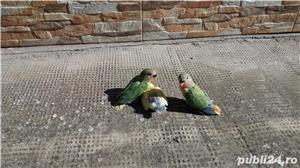 Vand papagali agapornis amorezi - imagine 1