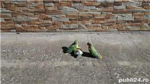 Vand papagali agapornis amorezi - imagine 5