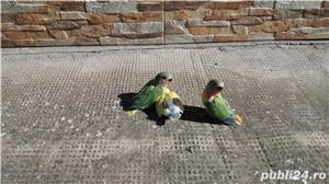 Vand papagali agapornis amorezi - imagine 4