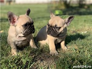 Pui Bulldog Francez rasa pura_vaccinati_livrare la Iasi - imagine 3