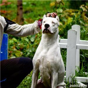 Pui Dogo Argentino - Dog Argentinian Pedigree, Contract - imagine 2
