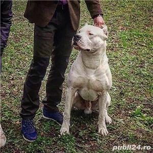 Pui Dogo Argentino - Dog Argentinian Pedigree, Contract - imagine 1
