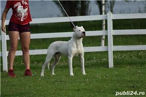 Mascul deosebit Dog Argentinian Dogo Argentino  - imagine 8
