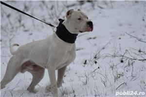 Mascul deosebit Dog Argentinian Dogo Argentino  - imagine 7