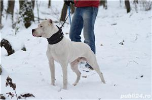 Mascul deosebit Dog Argentinian Dogo Argentino  - imagine 6