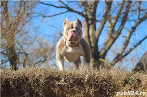 American Bully - imagine 4