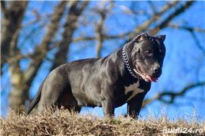 American Bully - imagine 3