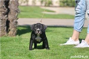 American Bully - imagine 5