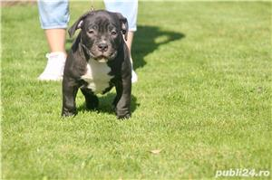 American Bully - imagine 7