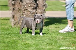 American Bully - imagine 6