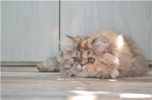 Pisicuta persana superba ! - imagine 2