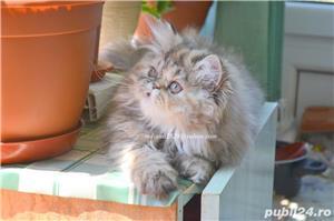 Pisicuta persana superba ! - imagine 5