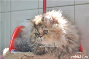 Pisicuta persana superba ! - imagine 7