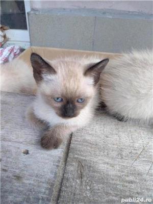 Vând pisici birmaneze rasă pură - imagine 1