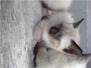 Vând pisici birmaneze rasă pură - imagine 7