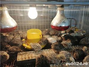 Vand pui de prepeliță  - imagine 3