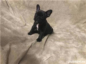 Catei Bulldog francez rasa pura, acte, microcip, livrare la Suceava - imagine 1