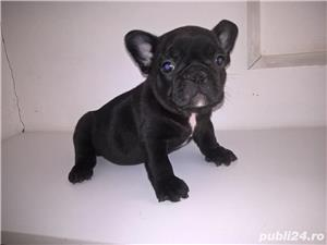 Pui Bulldog francez maro sau negri_ rasa pura_ sanatosi_ livrare la Rm. Valcea - imagine 3