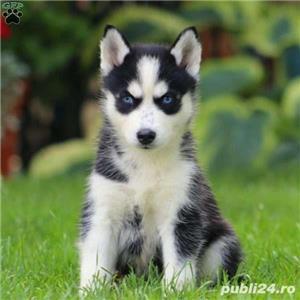 Husky Siberian rasa pura 100%-asigur transport - imagine 3