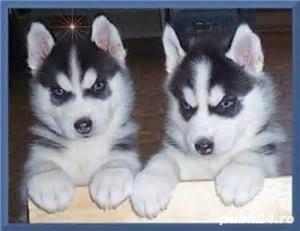 Husky Siberian rasa pura 100%-asigur transport - imagine 2