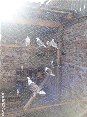 Porumbei  - imagine 10