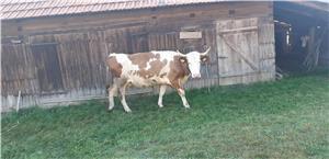Vand vaca rasa Baltata Romaneasca  - imagine 2